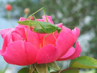 hmm...a grasshopper on a rose