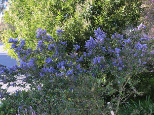 Ray Hartman ceanothus in bloom