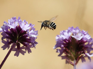 It's the Ivory Banded Digger Bee