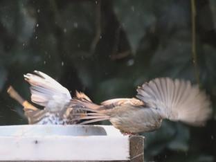 Drama at the birdbath