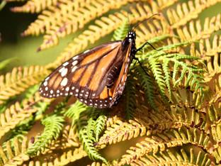 Monarch resting on tree fern fronds