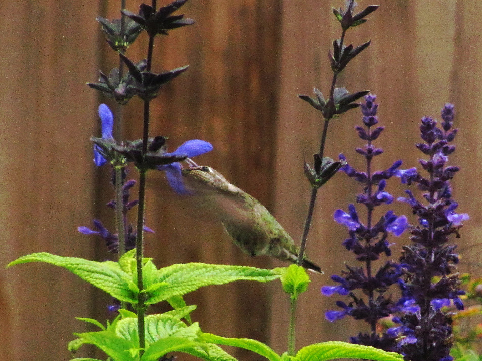 hummingbird in black and blue salvia_edited_edited.JPG