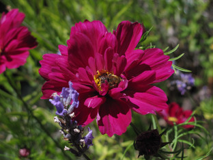 More plants to grow to feed the bees and other pollinators this summer!