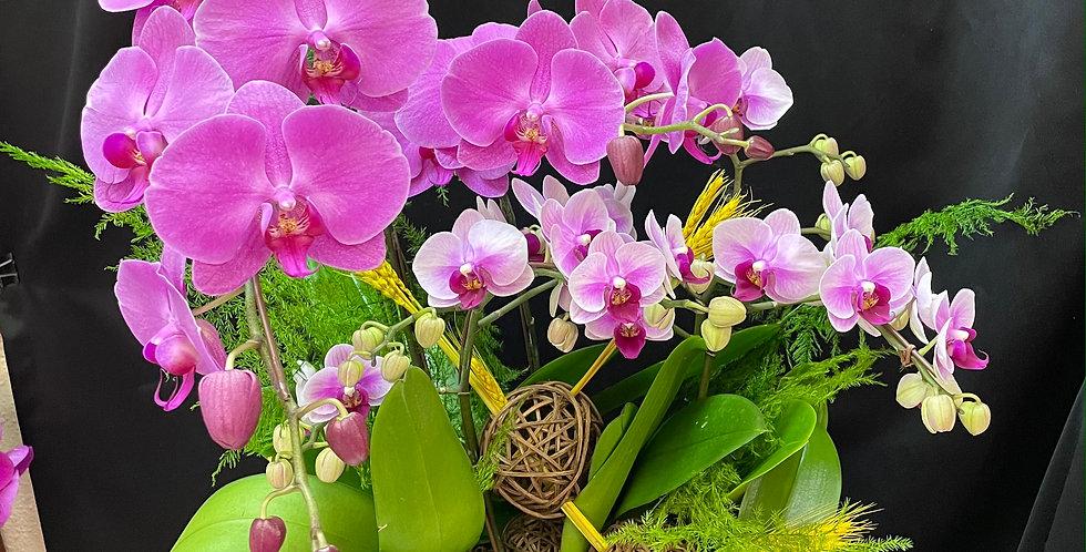 *簡單高貴*新年紫色蝴蝶蘭花 Orchid (台灣進口)(非內地)
