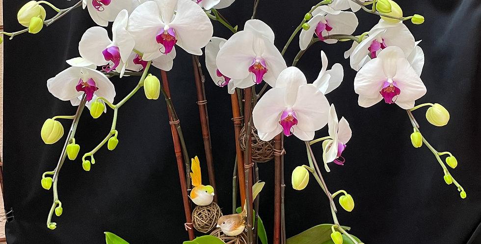 *清純脫俗* 白色蝴蝶蘭 新年蘭花 Orchid (台灣進口)(非內地)