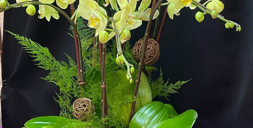 *生機處處* 罕有黃蘭花 新年蝴蝶蘭花 Orchid (台灣進口)(非內地)
