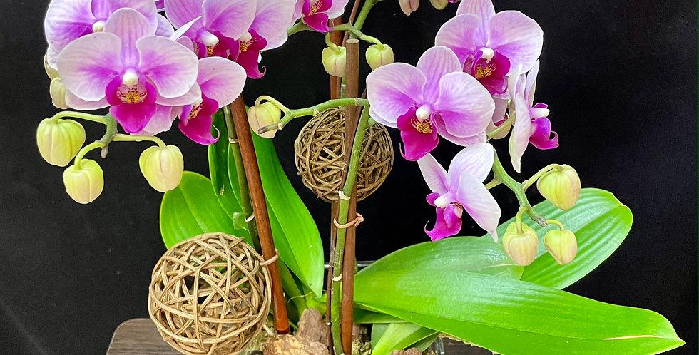 2021 新年蘭花 Orchid (台灣進口)(非內地)