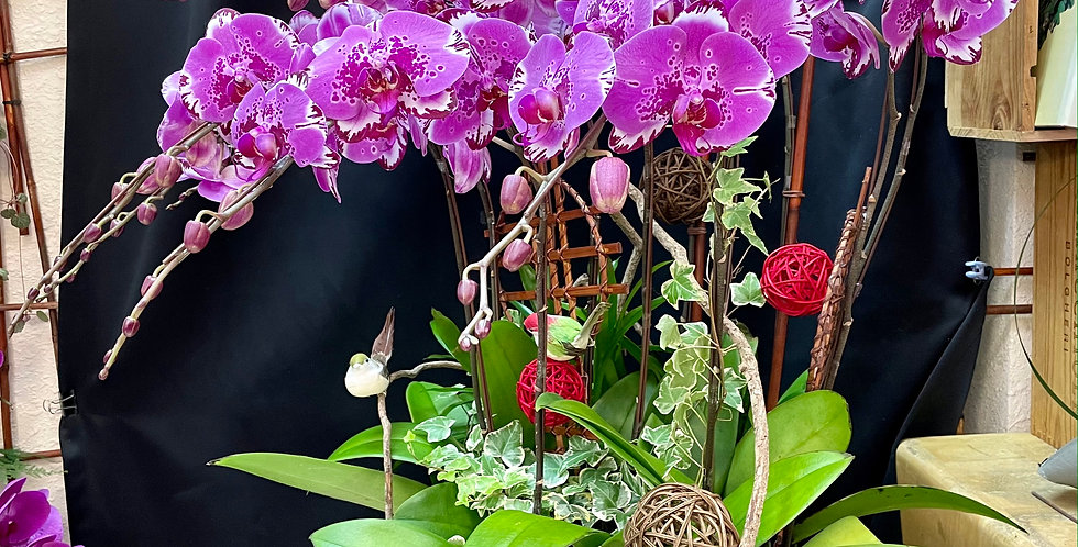 *巨富巨貴* 新年蝴蝶蘭花 Orchid (台灣進口)(非內地)