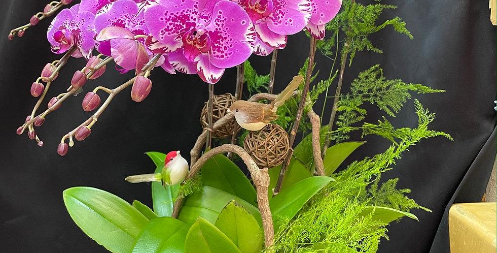 *小品清新*新年紫色蝴蝶蘭花 Orchid (台灣進口)(非內地)
