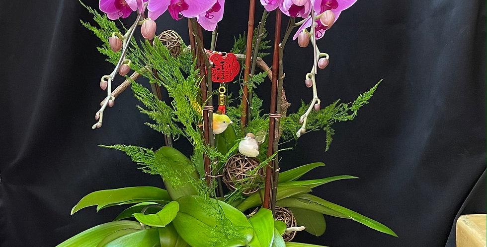 *四方迎客*紫蘭 新年蘭花 Orchid (台灣進口)(非內地)