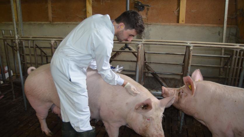 Soins porc
