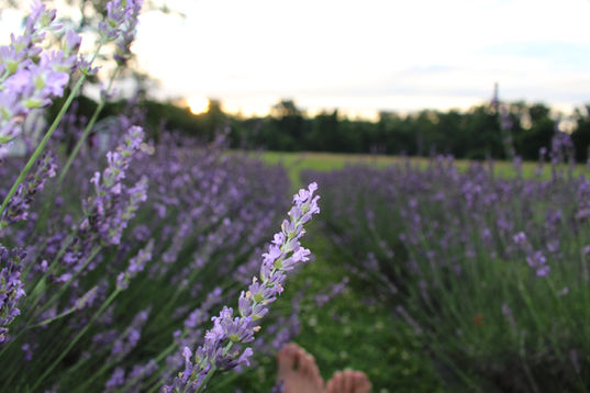 Buy Lavender Plants in New Jersey, New Jersey Lavender Farm