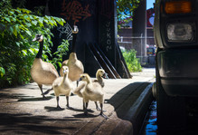 Geese Family Portrait