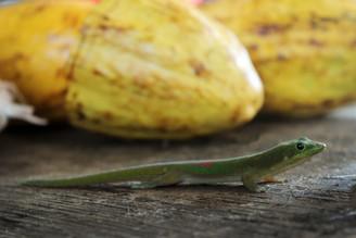 Geckocoa