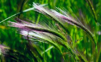 Purple + Green Grass