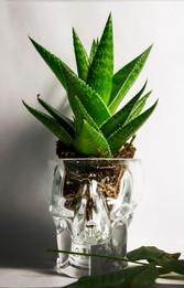 Aloe Vanitas
