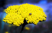 B&W Insect + Yellow Flowers