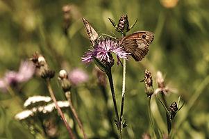 Butterflies%20on%20a%20pink%20flower_edi