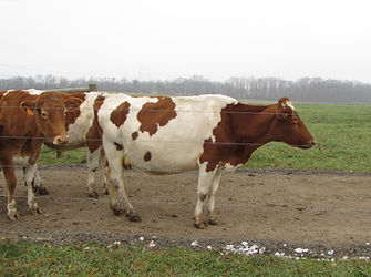 Image of dairy cows in a pasture; nutrient management; management BMP