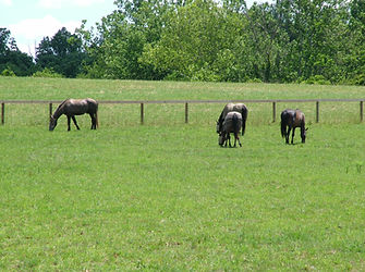 Image of horses in a pasture; rotational grazing; management BMP