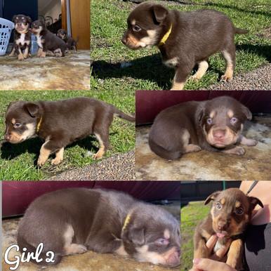 Kelpie puppies for sale