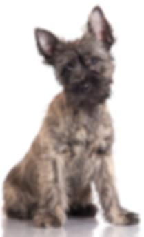 Cairn Terrier - Pet Adoption