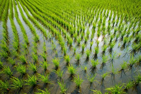 Rice Field 田んぼ