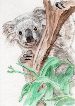 Koala Peek-A-Boo