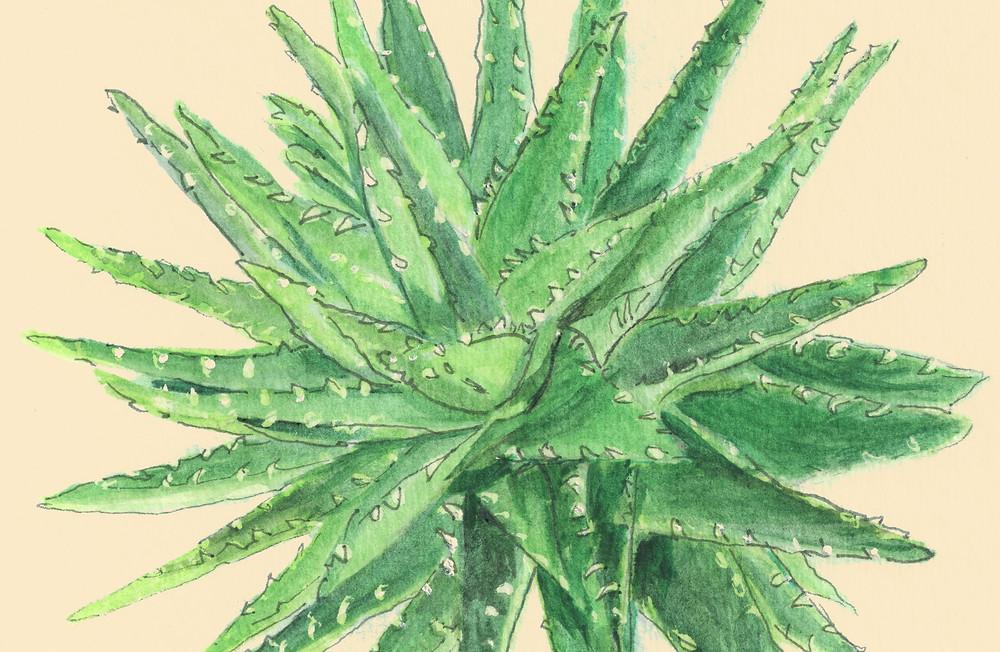 aloe plant desert cacti cactus