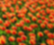 Tulips2.png