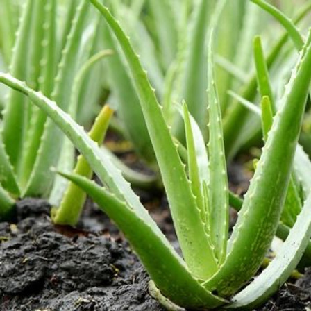 All About Aloe At River Street Market