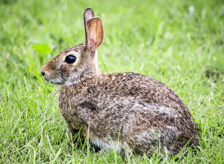 Can domestic rabbits be released into the wild?
