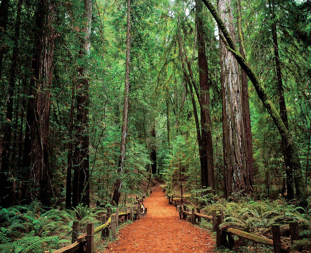 Sonoma County - Armstrong Woods Guerneville
