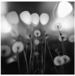 dandelions+at+dark