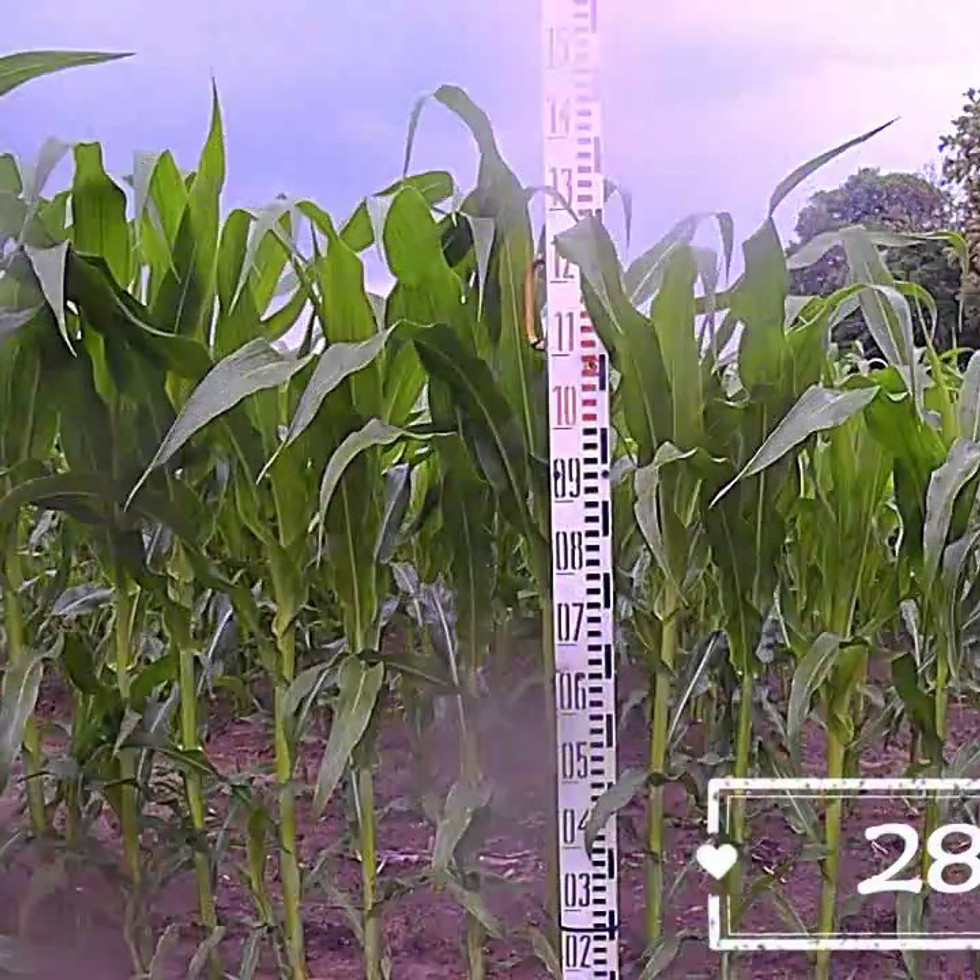 Kukurydza - wzrost