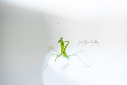 Praying Mantis Posing w:signature.jpg