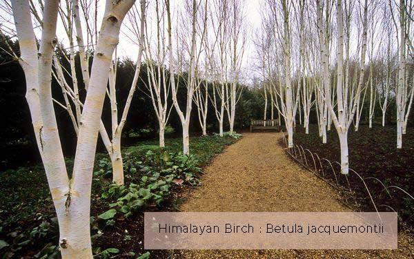 Himalayan birch.jpg