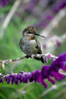 Our friends, the hummingbirds
