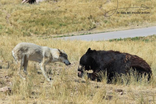 Black Bears & Timber Wolves