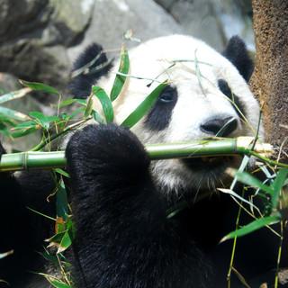 VOIR UN PANDA