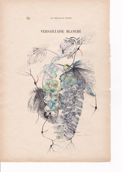 Versaillaise Blanche