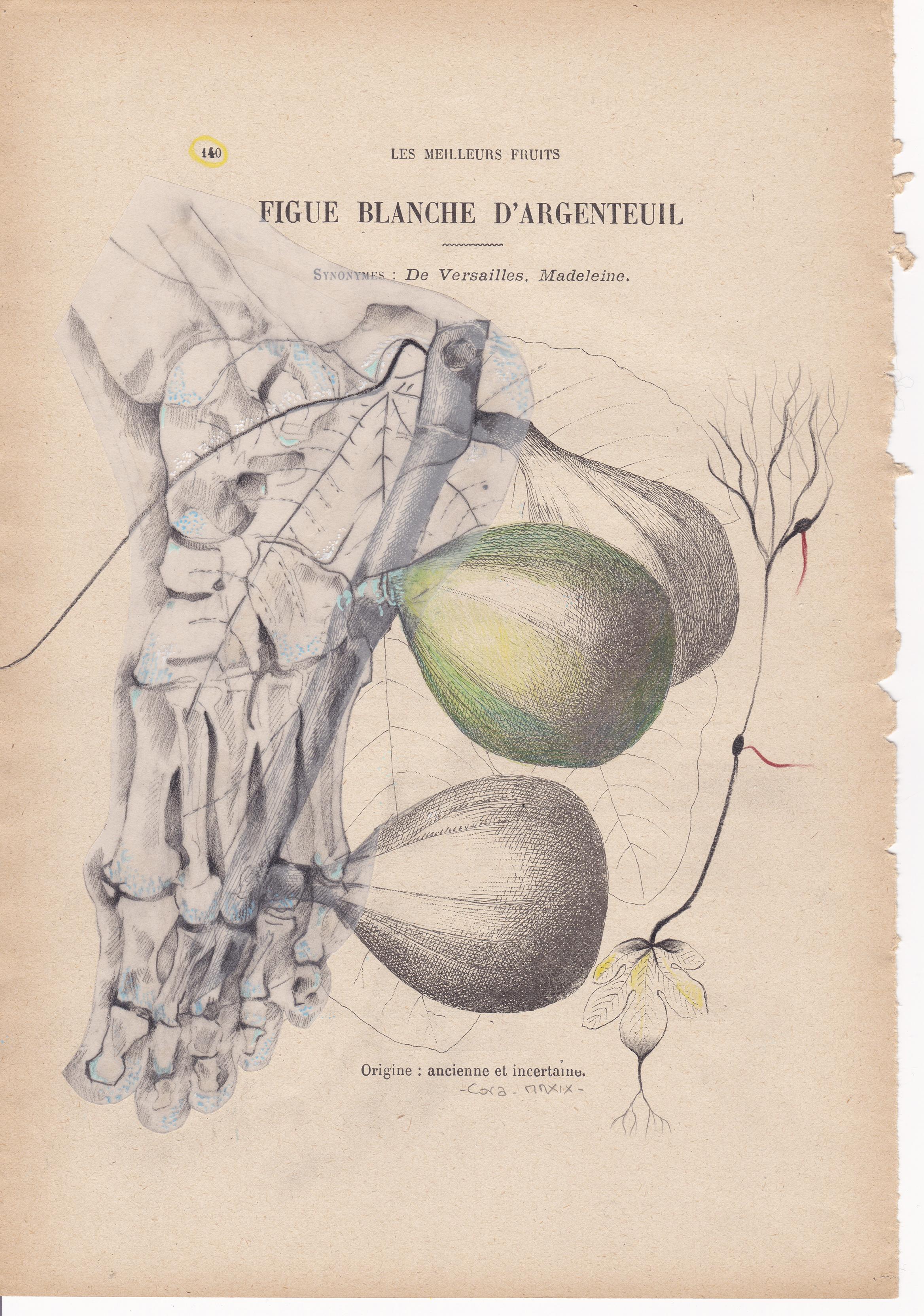 Figue Blanche d'Argenteuil