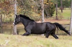 gorgeous black stallion picture