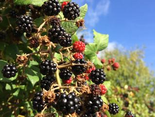 I love picking blackberries, but ...