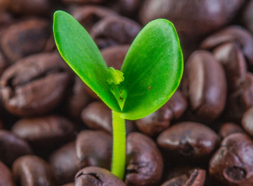 CAFFEINA l'ELISIR DELLA MEMORIA PER GLI IMPOLLINATORI