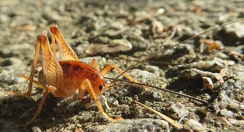 spotted-camel-cricket-1415144_1280.jpg