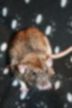 Trick - male rat buck breeder agouti variegated dumbo rex