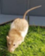 Kali - female rat doe breeder cinnamon variegated dumbo rex