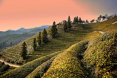 Sunset tea farm 2.jpg