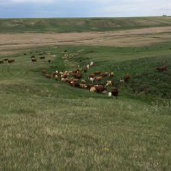 Palmer Commercial herd